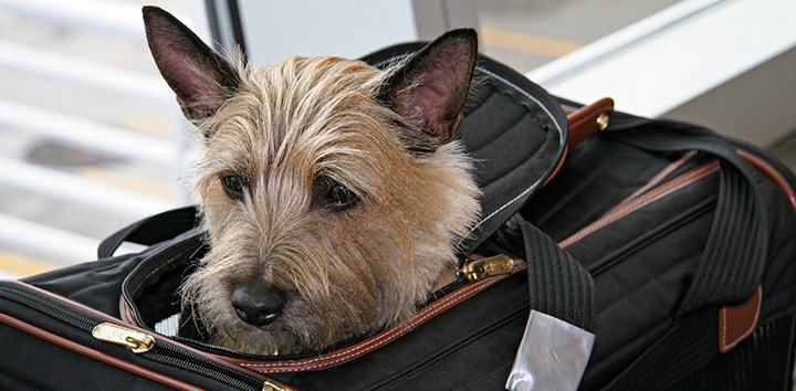 Dog traveling on a bag